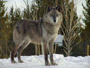 Wolf by Dennis Matheson